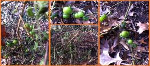 1-7-14 tomato composite